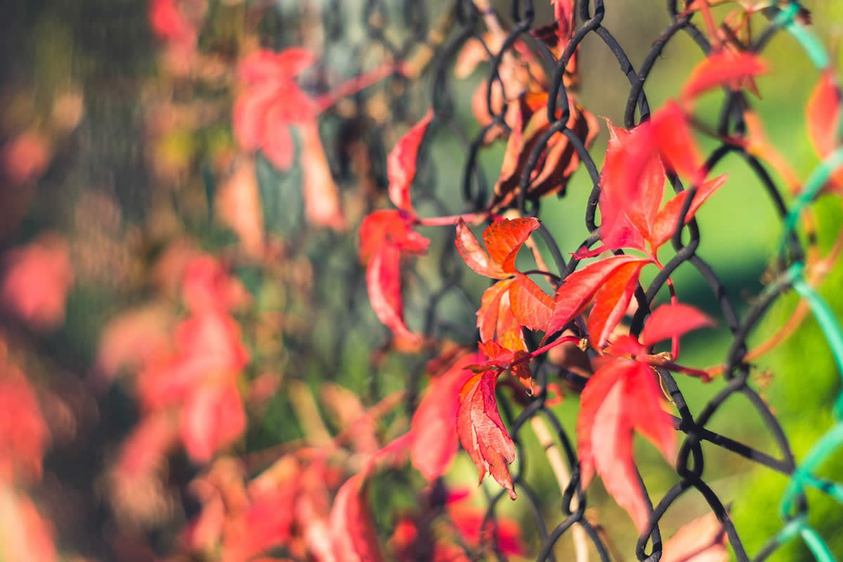 Fence-Friendly Vines - Should you have them on your fence?